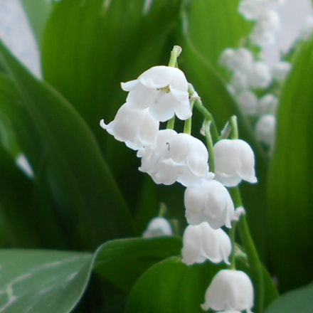Charming lily of the, Nikon COOLPIX S2600