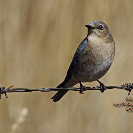 Female Mountain Bluebird, Pentax K-5 II S