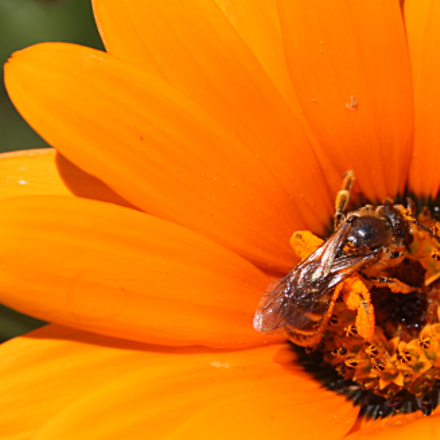 The orange bee, Canon EOS-1D MARK III, Sigma 105mm f/2.8 Macro EX