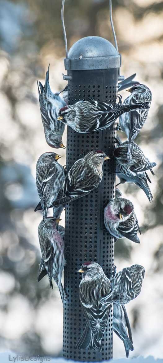 Photograph finches feasting by Lylis Designs on 500px