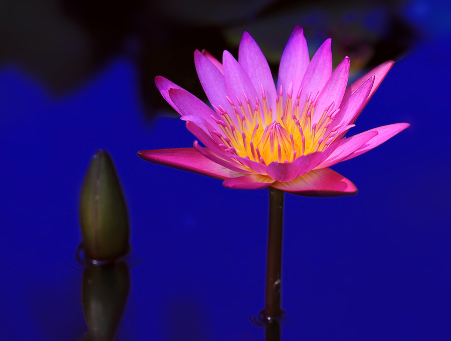 Photograph Pink Lotus by Prachit Punyapor on 500px