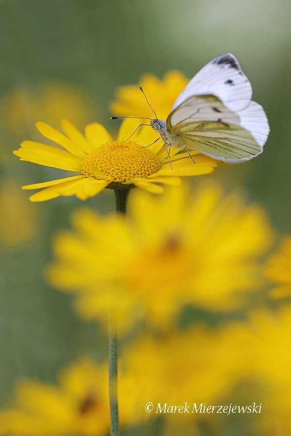 Photograph Small White buttefly by Marek Mierzejewski www.butterfly-photos.org on 500px