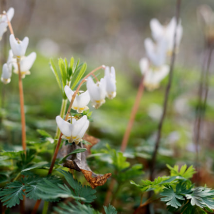 Dutchman's Breeches Wildflower, Nikon D750, Sigma 50mm F1.4 DG HSM | A
