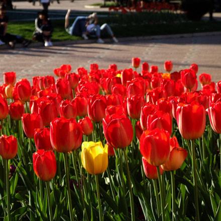 Tulips like fire, Fujifilm FinePix S9600