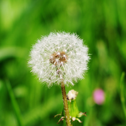 Dandelion seeds, RICOH PENTAX K-70