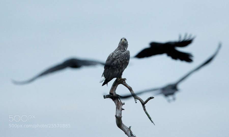 White-tailed Eagle and Ravens