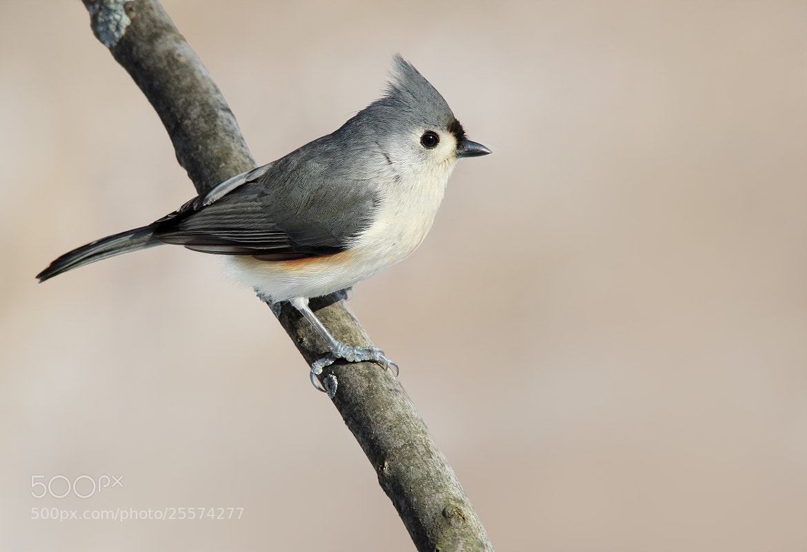 Photograph Titmouse 3 by Brian Masters on 500px