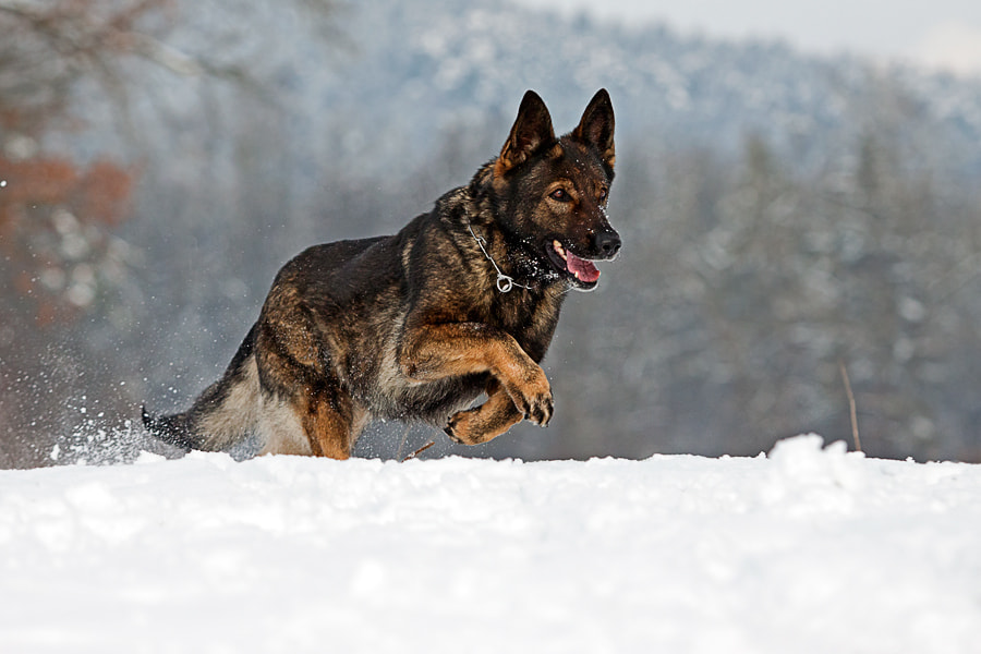 Photograph Nala in Snow by Miha Mozer on 500px
