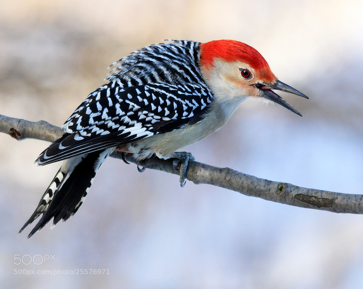 Photograph Agitated Woodpecker by Brian Masters on 500px