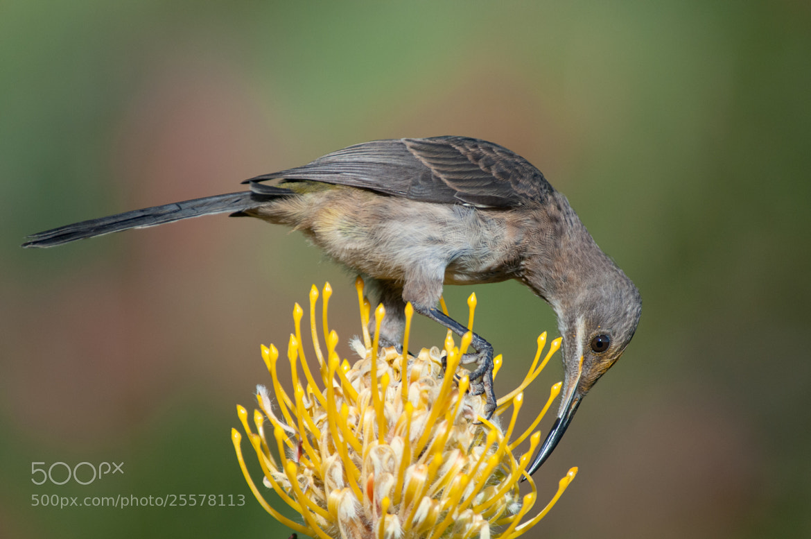Photograph Cape sugarbird on pincushion No.3 by guidodelgiudice on 500px