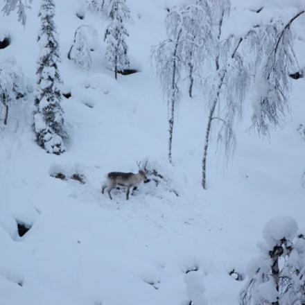Wild Rhein deer......, Canon EOS 550D
