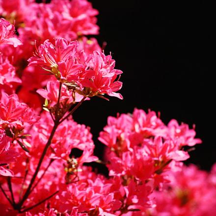 Mediterian flower, Nikon D7200, AF-S DX VR Zoom-Nikkor 55-200mm f/4-5.6G IF-ED