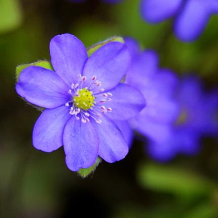 Purple., Canon EOS 60D, Sigma 17-70mm f/2.8-4.5 DC Macro