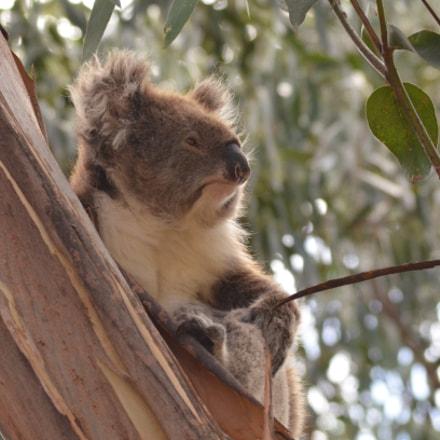 Koala enjoying the view, Nikon D7000, AF Zoom-Nikkor 75-240mm f/4.5-5.6D
