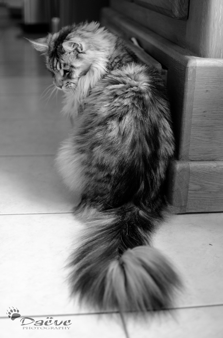 Photograph Dalton, the Main Coon. by K. Daeve on 500px