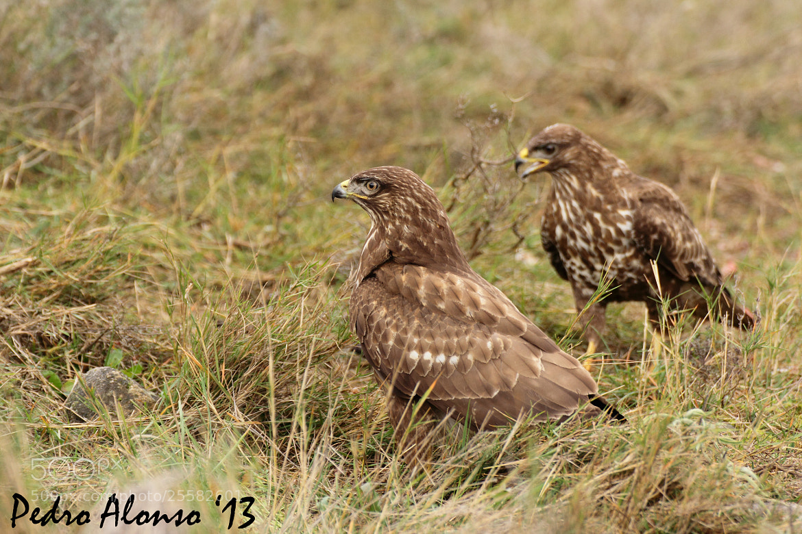 Photograph A pair of buzzards by Pedro Alonso on 500px