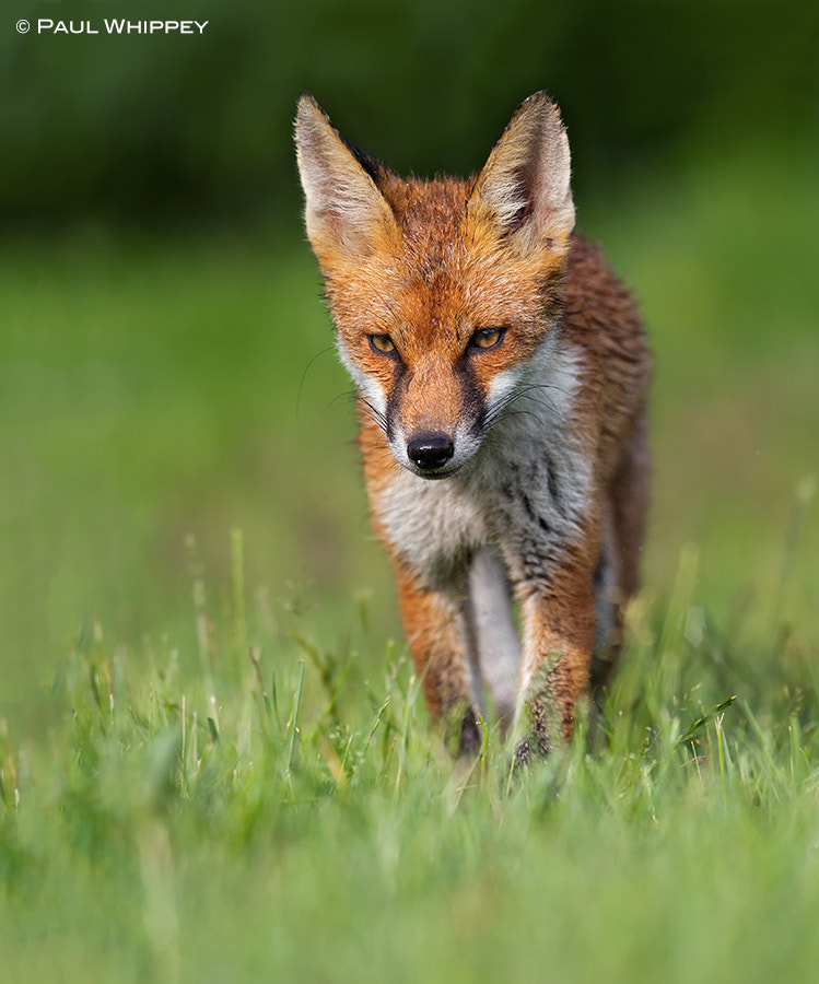 Photograph Young Red fox (Vulpes vulpes) by Paul Whippey on 500px