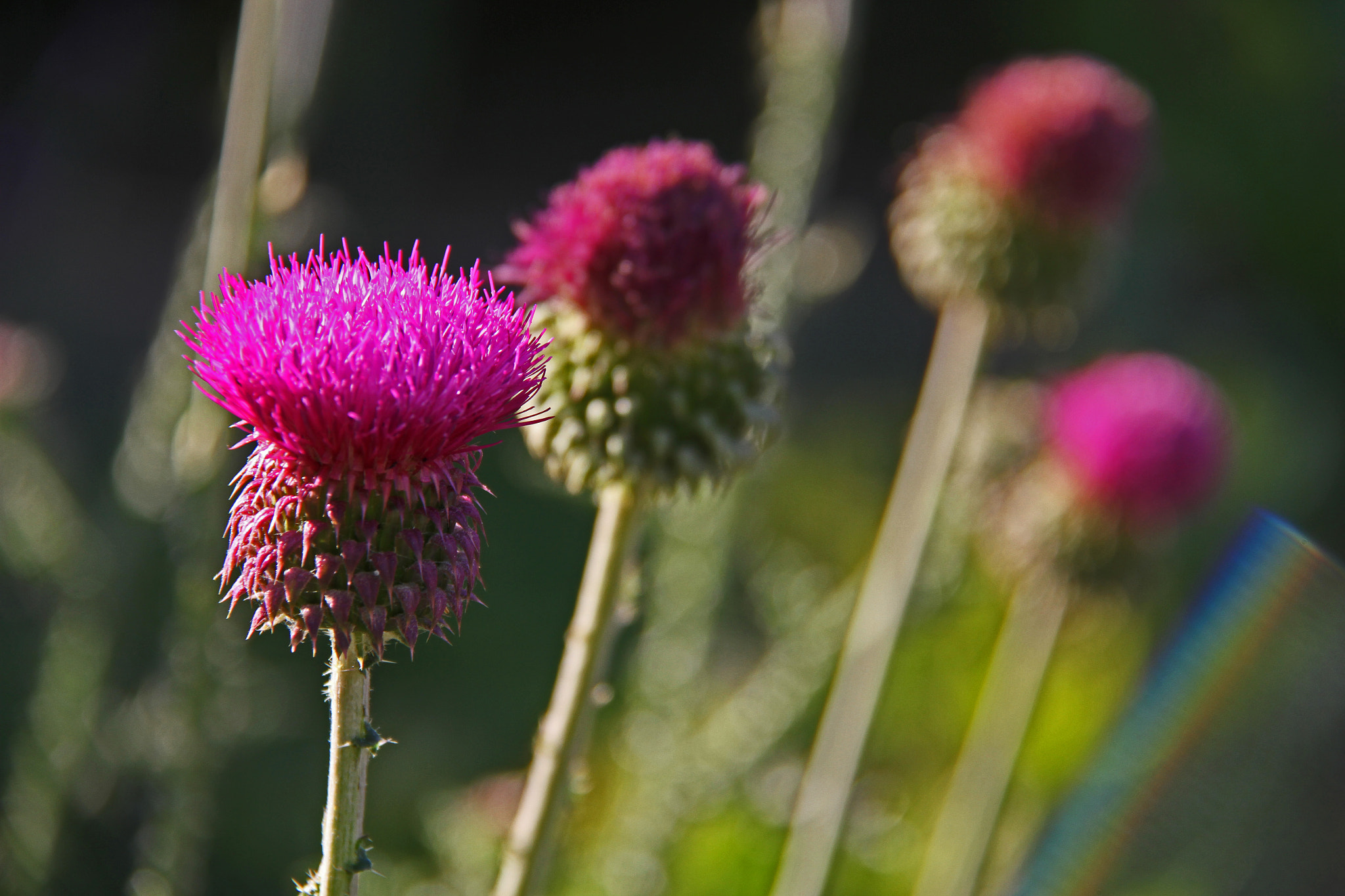 Photograph Thistle Family by Hakki Arican on 500px