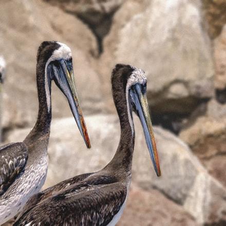 Pelican thage