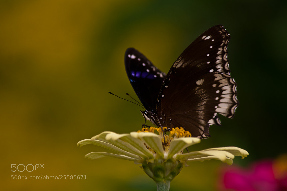Photograph Common Crow Butterfly by Pradeep BR on 500px