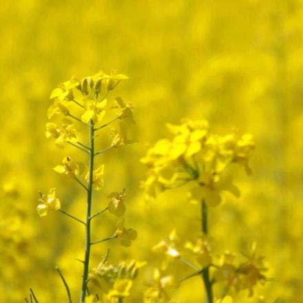 yellow, Fujifilm FinePix SL300