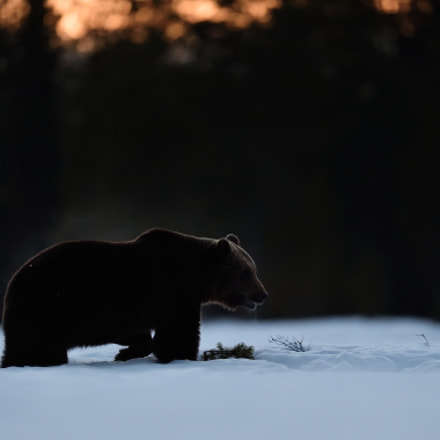 Brown bear walking on, Nikon D4S