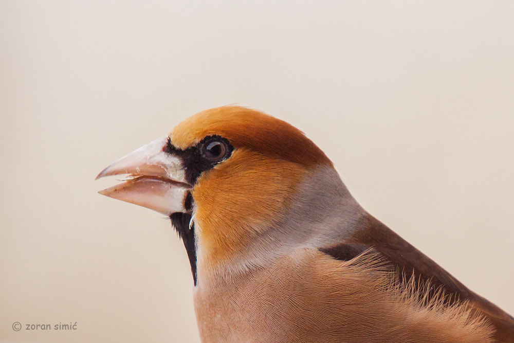 Photograph Coccothraustes coccothraustes (Hawfinch) by zoran simic on 500px