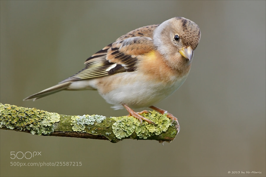 Photograph Brambling by Maurice Dekens on 500px