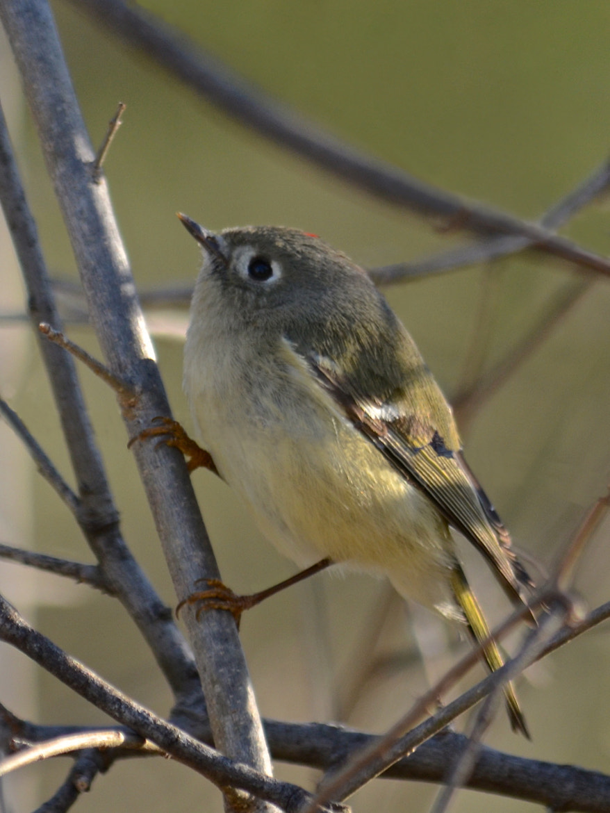 Photograph Ruby-crowned Kinglet by Steven Bach on 500px