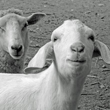 two goats, Nikon COOLPIX P330