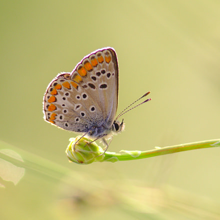 Brown Argus - Aricia, Canon EOS 700D, Canon EF 300mm f/4L IS