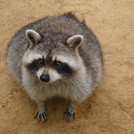 Sweet Squint Eyed Raccoon, Sony DSC-W170