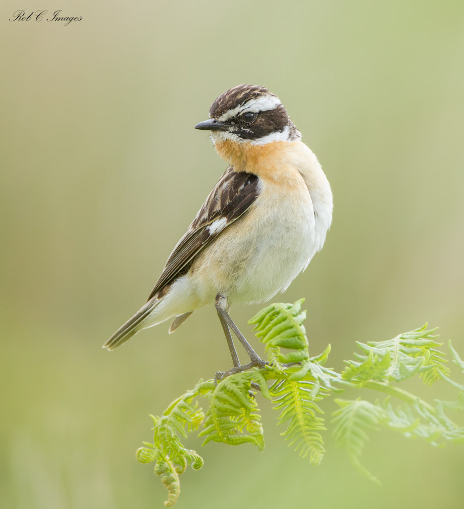 Photograph Whinchat by Rob Cross on 500px