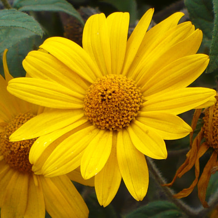 flor de suncho, Panasonic DMC-LZ7