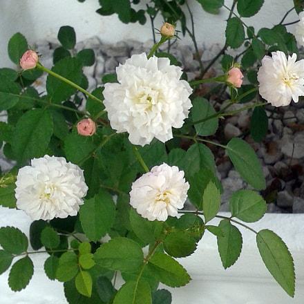 Little cotton roses, Samsung Galaxy Win