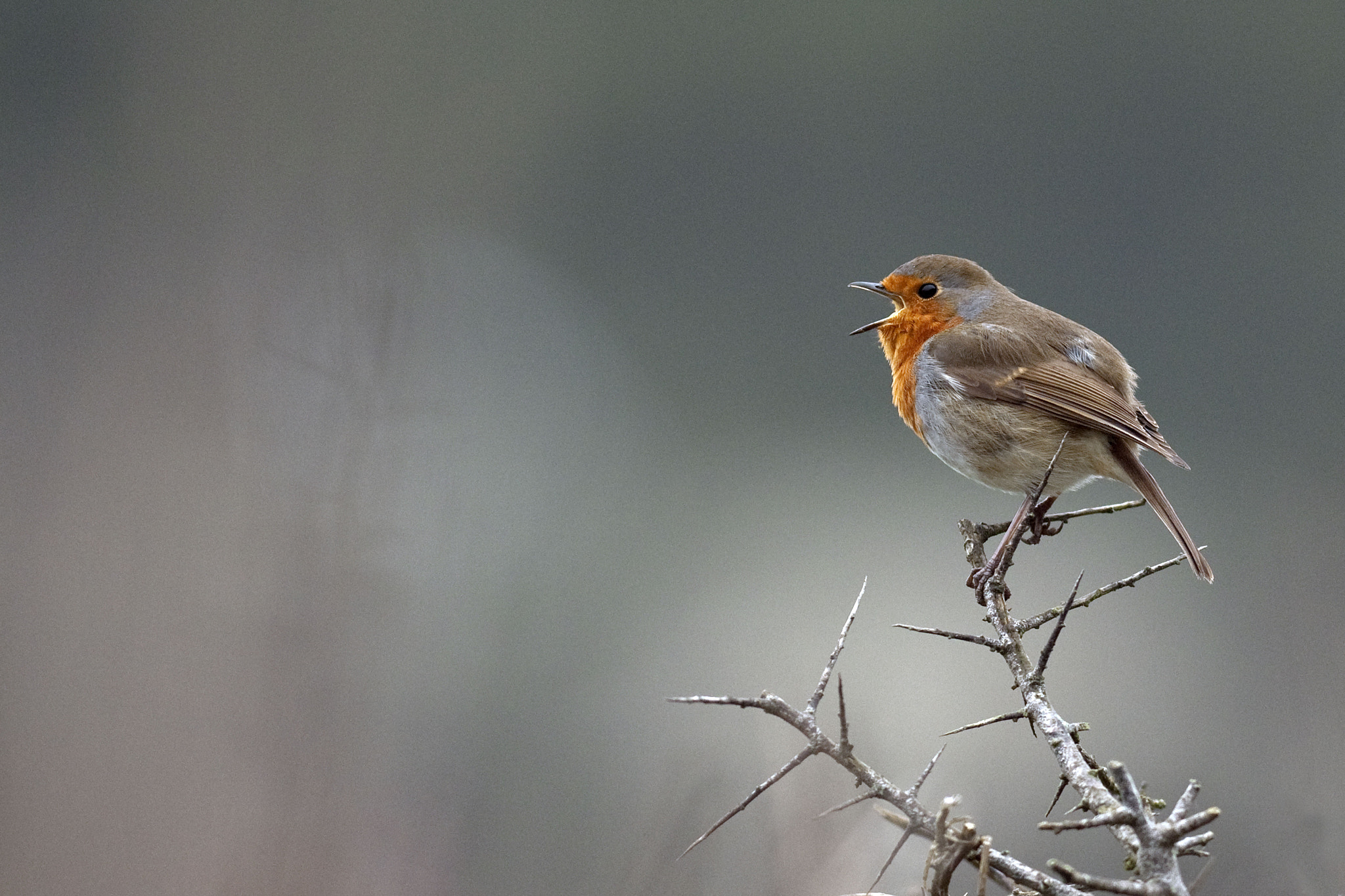 Photograph Robin Song by George Rogers on 500px