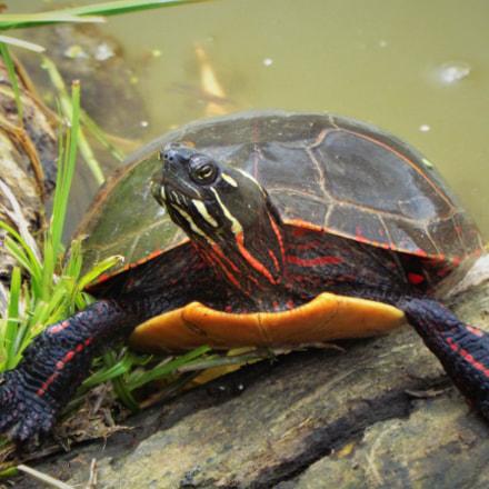 Midland Painted Turtle, Fujifilm FinePix S8300