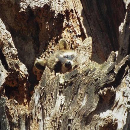 Young Raccoon Relaxing, Fujifilm FinePix S8300