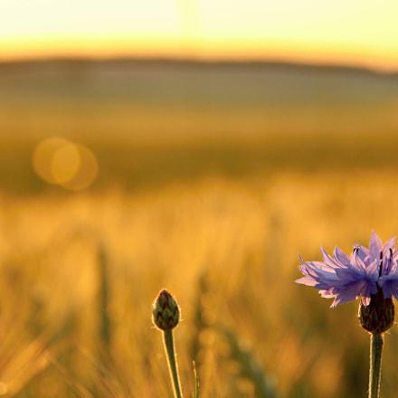 Cornflower in sunset, Canon EOS 550D, Tamron 18-250mm f/3.5-6.3 Di II LD Aspherical [IF] Macro