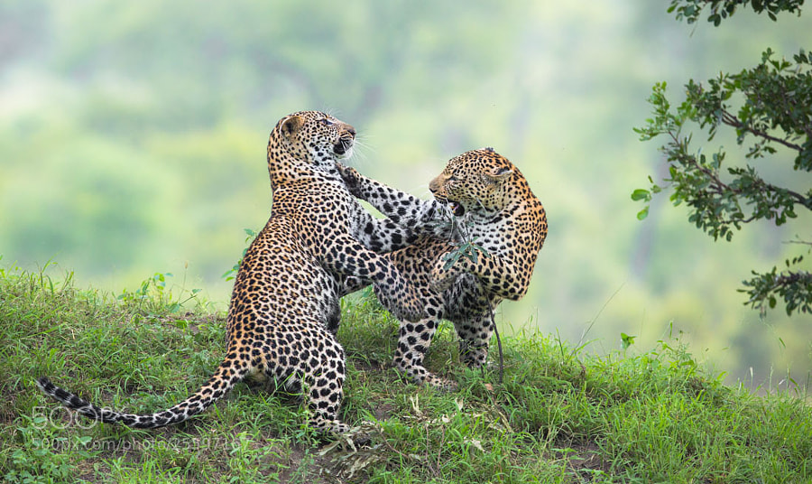 Dancing Leopards
