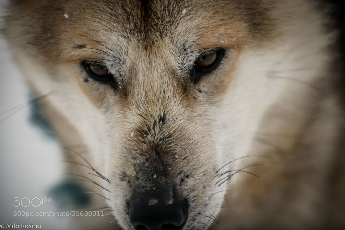 Photograph Sled dog by Milo Rosing on 500px