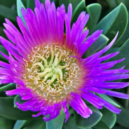 A Blue Dandelion Flower, Canon POWERSHOT SX60 HS, 3.8 - 247.0 mm