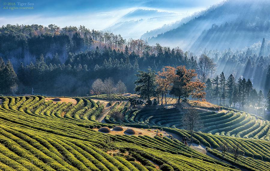 morning of green tea farmland by Tiger Seo on 500px.com