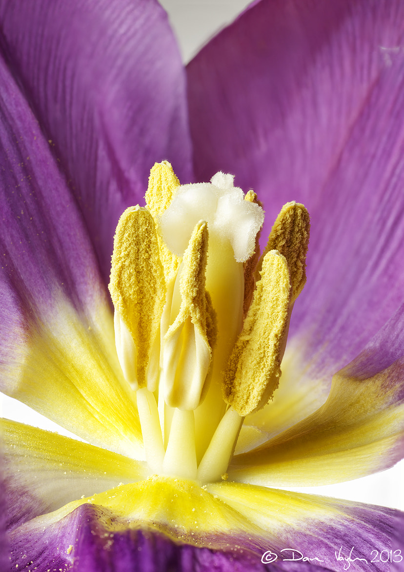 Photograph Inside a Tulip by David Vaughan on 500px