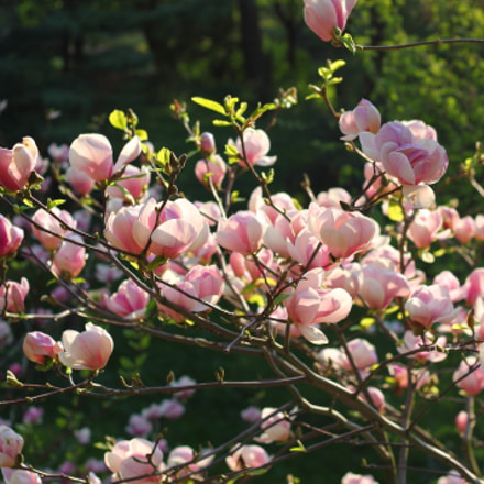 Magnolia, Canon EOS 1100D, Canon EF 50mm f/1.8 II