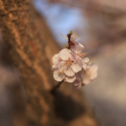 An apricot flower with, Canon EOS 5DS R, Canon EF 24-70mm f/2.8L II USM