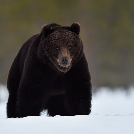 Brown bear on snow, Nikon D4S