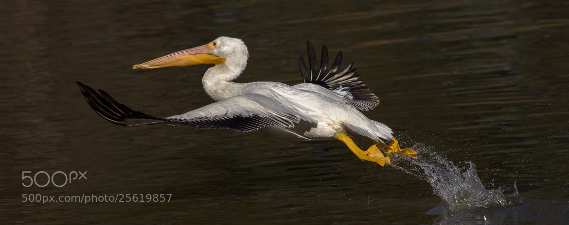 Photograph White Pelican  by Timothy Fairley on 500px