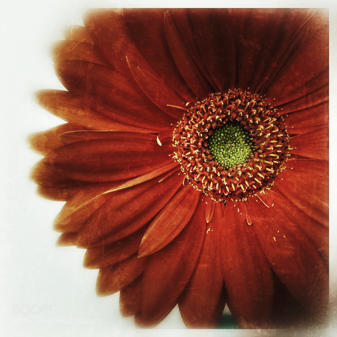 Photograph Gerber Daisy by Julie Rideout on 500px