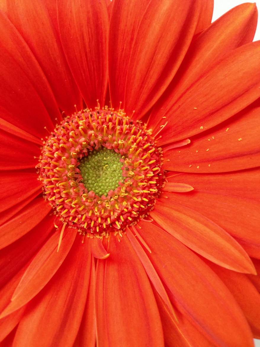 Photograph Orange Gerber Daisy by Julie Rideout on 500px
